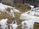 Породистые козлята